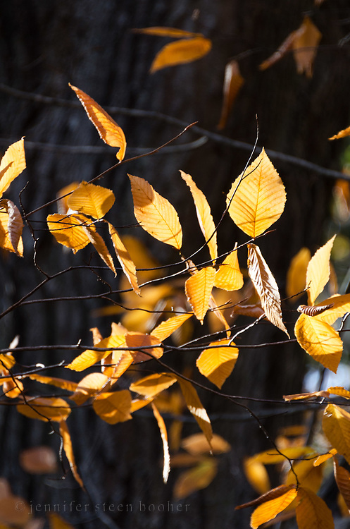 Beech leaves in autumn at Old Farm, Acadia National Park, Maine.