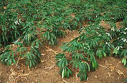 Cassava plants growing in field; Cuba,