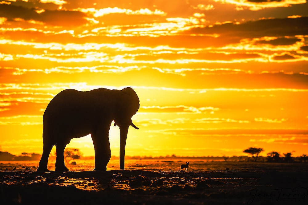 A silhouette of a bachelor elephant bull walking (Loxodonta africana) with a black-backed jackal (Canis mesomelas) against a golden African sky  at sunset, Nxai Pan, Botswana, Africa