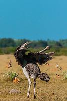 Female ostrich doing a mating dance (to attract male ostrich), Nxai Pan National Park, Bostwana.