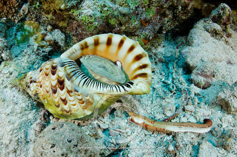 Charonia tritonis, Tritonshorn oder Tritonsschnecke frisst Seestern, Great or Giant triton feeding seastar,  St. Johns Riff Reef, Rotes Meer, Ägypten, Red Sea Egypt