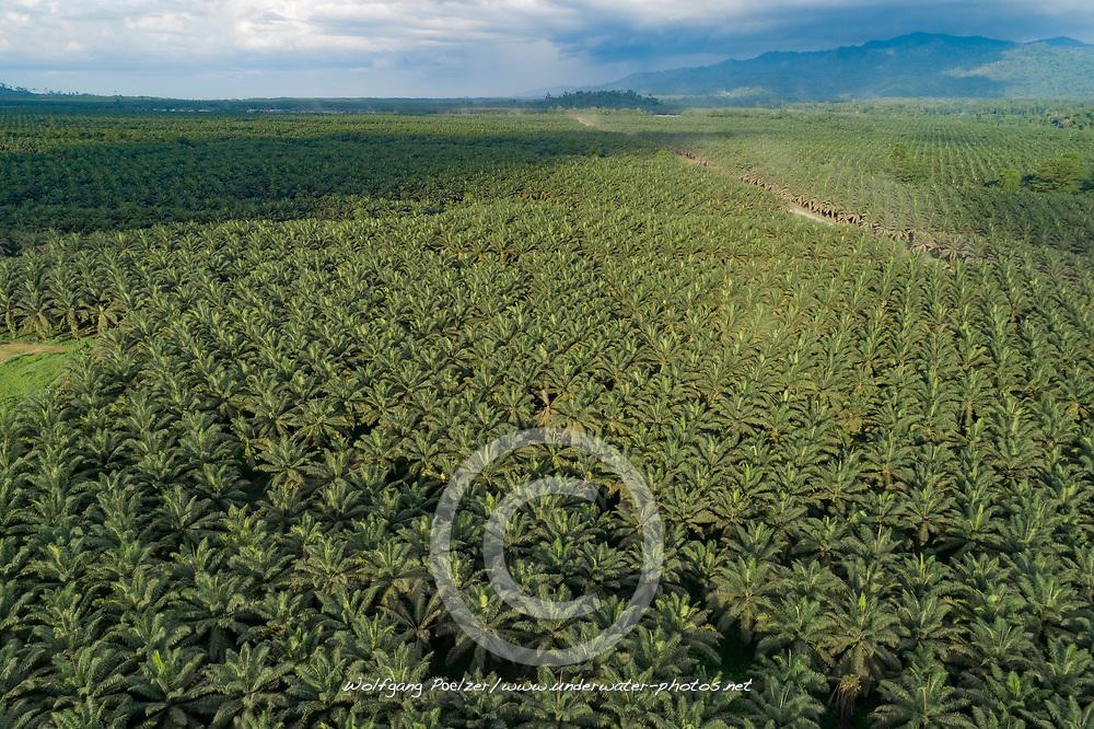 Luftbildaufnahme von Oelpalmen (Elaeis guineensis) Plantage, Kimbe, Neubritannien, Papua Neuguinea / Arial View of Oil palm (Elaeis guineensis) plantation, Kimbe, New Britain, Papua New Guinea