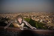 Rhesus macaque (Macaca mulatta) at Swayambhunath Temple, Kathmandu, Nepal.