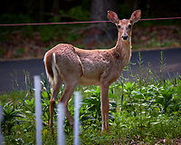 Young doe wondering why I am looking at her. Backyard spring nature in New Jersey. Image taken with a Fuji X-T2 camera and 100-400 mm OIS lens (ISO 200, 400 mm, f/6.4, 1/45 sec).