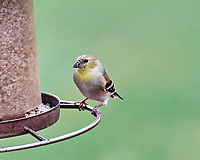 American Goldfinch. Image taken with a Leica SL2 camera and 90-280 mm VR lens.