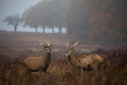© Licensed to London News Pictures. 30/11/2019. London, UK. Deer rutting in Richmond Park on a cold and misty morning. Tomorrow is the start of meteorological winter. Photo credit : Tom Nicholson/LNP