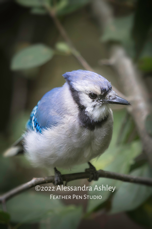Blue jay perched on a tree branch, showing fluffed vibrant blue feathers and crest on an unusually cool summer day.