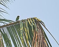 Pacific Parakeet (Psittacara strenuus). Image taken with a Nikon D3s camera and 70-300 mm VR lens.