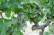 Merlot vines. Veraison, grape colouring. Chateau Jonqueyres, Bordeaux Superieur, Entre deux Mers, Bordeaux, France