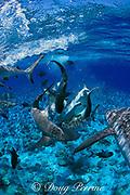 gray reef sharks in feeding frenzy, Carcharhinus amblyrhynchos, Bikini Atoll, Marshall Islands, Micronesia ( Central Pacific Ocean ) (dm)