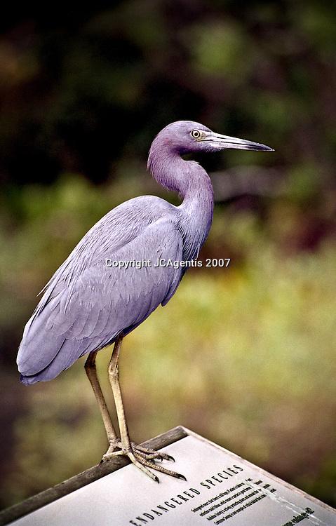 Blue Heron Standing on Endangered Species Sign. Corkscrew Sanctuary.  Everlades, FL 2007