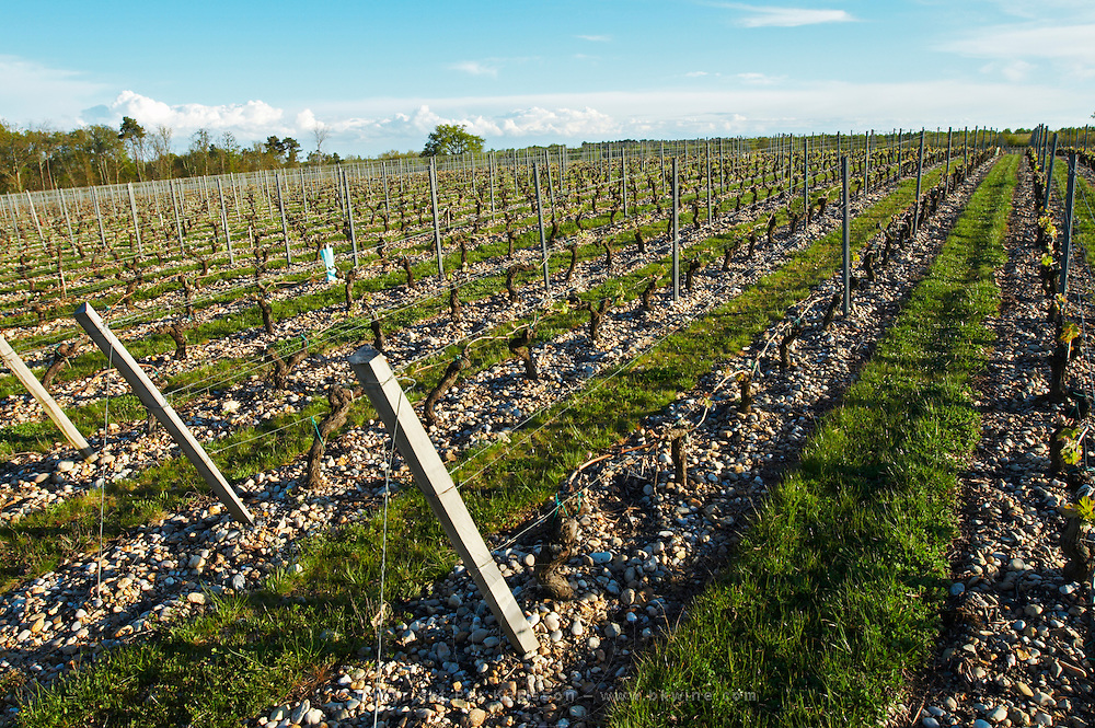 gravelly soil grass removed around vines chateau belgrave haut medoc bordeaux france