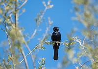 Male Phainopepla, Phainopepla nitens, in the Desert Botanical Garden, Phoenix, Arizona