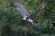 Parauapebas_PA, Brazil.<br /> <br /> The female harpy eagle can reach 10 kg, and is about one-third larger than the male. Not more than 6 kg, the adult male is more agile and a better hunter.<br /> Carajas National Forest, Para, Brazil. <br /> <br /> Foto: JOAO MARCOS ROSA / NITRO