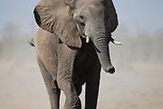 A thirsty elephant (Loxodonta africana) desperate to reach  a water hole to drink, Savuti, Botswana