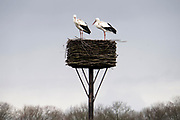 Nederland, 26-2-2020  Ooievaars op hun nest .Foto: Flip Franssen