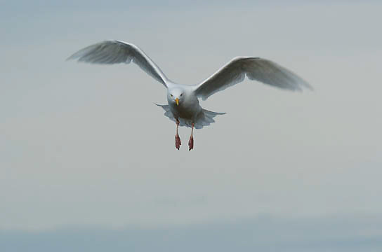 Glaucous Gulls(Larua hyperboreus)in flight. Kaktovik, Alaska.