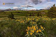 Arrowleaf balsomroot wildflowers on DNRC land above Elk Creek near Augusta, Montana, USA