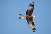 Red Kite, Milvus milvus soaring  Scotland