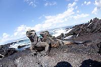Marine iguanas in the Galapagos Islands, Ecuador.