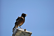 Common Myna (Acridotheres tristis) on Blue Sky background