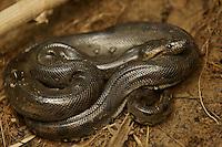 Anaconda on the bank of Anangu creek in Yasuni National Park, Francisco de Orellana Province, Ecuador