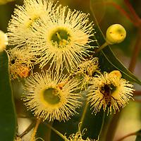 Australian Flora