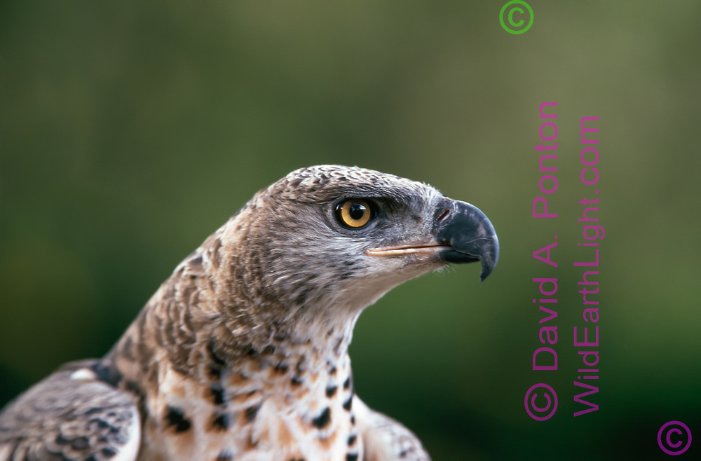 African crowned eagle, juvenile profile portrait. (This bird was photographed in a rehabilitation/education facility and is not releasable) © David A. Ponton