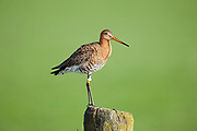 Adult black taled godwit standing on a post
