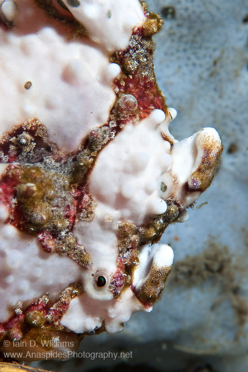 Warty Frogfish (Antennarius pictus) Pink Phase - Indonesia..Frogfish are lie & wait carnivorous predators.  They have an appendage above their head which is waved about to attract prospective prey.  All frogfish have large mouths are are capable of swallowing prey to their own size.  Rather than swim above the bottom, they walk along the substrate using their pectoral fins.  Frogfish inhabit reef areas to a depth 73 m.  Often within one species there will be several different colour variations or phases; brown, black, yellow, white, yellow, red and orange being the most common.  Some species have hairy variations and maybe covered in numerous small wart-like knobs.  Frogfish have been known to mimic the colours of the surrounding terrain (ie sponges & ascidians).  Variable size depending species.   Length 2 - 30 cm