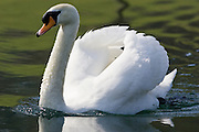 Male mute swan, Donnington, Gloucestershire, United Kingdom