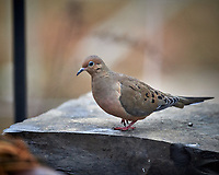 Mourning Dove. Image taken with a Nikon D5 camera and 600 mm f/4 VR lens (ISO 1400, 600 mm, f/4, 1/1250 sec).