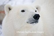01874-108.05 Polar Bear (Ursus maritimus)  Churchill, MB Canada