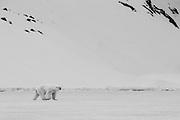 Polar bear (Ursus maritimus) walking alone across the ice in black and white, Spitsbergen, Northwest Coast of the Svalbard Archipelago, Norway