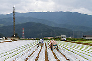 Lettuce cultivation in Kawakami Village, Nagano, Japan. Friday August 11th 2017