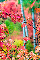 Autumn Maples in Swan Valley Idaho