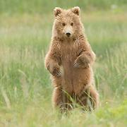 Alaskan Brown Bear (Ursus middendorffi) Standing on hind legs. Katmai National Park. Alaska.