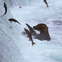 USA, Alaska, Katmai. Brown Bear and jumping salmon at Brooks Falls, Katmai National Park, Alaska.