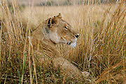 Lioness is camouflaged and surrounded by a circle of long grass.