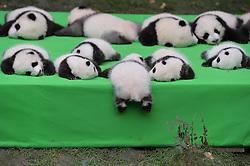 Ein Pandababy purzelt vom Tisch während der Präsentation von 23 Riesenpanda Jungtieren in der Aufzuchtstation von Chengdu / 290916 ***<br /> CHENGDU, CHINA - SEPTEMBER 29: <br /> 23 giant panda cubs make their debut to the public at Chengdu Research Base of Giant Panda Breeding on September 23, 2016 in Chengdu, Sichuan Province of China. All the 23 panda cubs were born in the base this year.