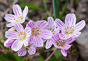 Columbian lewisia flowers bloom on Table Mountain Trail #1209, near Blewett Pass, Wenatchee National Forest, Washington, USA. The Columbian lewisia (scientific name: Lewisia columbiana, in the purslane family) is native to western United States and British Columbia in rocky mountain habitats. Several stems rise up to 30 centimeters tall, each bearing up to 100 flowers. The flower has 4 to 11 petals, each up to about a centimeter in length and oval with a notched tip. The petals are white to pale pink, usually with sharp dark pink veining (stripes).
