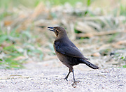 A female great-tailed grackle (Quiscalus mexicanus) scavenges on the shore of  Lake Atitlan. Panajachel, Republic of Guatemala.