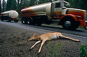 A young deer lies dead beside a busy highway on a road near Fairchild Air Force Base, Spokane, Washington State. Very recently run-over but seemingly unharmed, this animal has head injuries and died immediately from a collision with a passing vehicle, such as this heavy articulated lorry which blurrs past this location. This is forested area and the deer's natural habitat but too often wildlife in its natural surroundings violently meets the modern human environment and the animal comes of worst. As a result of the death, the roadkill was taken by members of a US Air Force survival course at their nearby facility and so it formed an unscheduled extra lesson in preparing venison for the pot that night (see Corbis image entitled 'US Air Force survival instructors with recent roadkill').