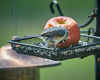 Tufted Titmouse.  Image taken with a Nikon D5 camera and 600 mm f/4 VR telephoto lens (ISO 400, 600 mm, f/5.6, 1/1250 sec).