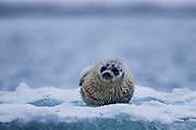 Ringed seal pup on the ice during a snow storm (Pusa hispida), Svalbard, Norway