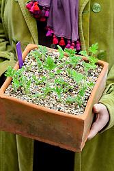 Pelargonium cuttings in a square pot