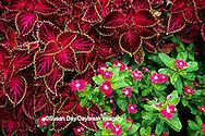 65021-02218 Coleus (Solenostemon scutellarioides) & Madascar Periwinkle (Catharanthus roseus 'Cooler Rasberry Red'),  MO