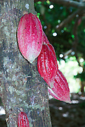 Madagascar, Ankify Peninsula Cocoa plantation. The fruit on a tree