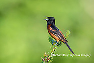 01618-01719 Orchard Oriole (Icterus spurius) male singing in spruce tree Marion Co. IL