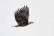 Bald Eagle, Paradise Valley